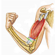 biceps corto
