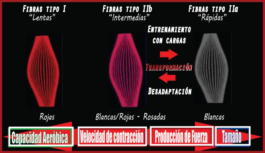 Tipos de fibras cambio y funciones