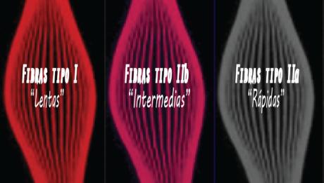 Tipos de fibras musculares y caracteristicas