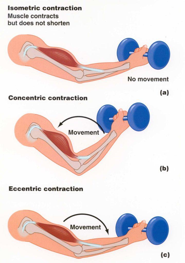 daño muscular contraccion excentrica