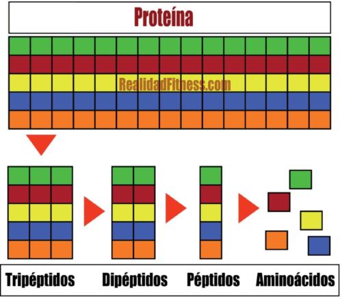 Whey protein grado de hidrolisis