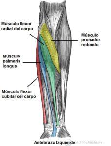 Anatomia del antebrazo adelante