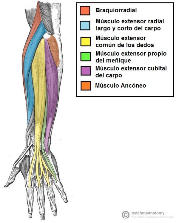 Anatomia del antebrazo parte detras