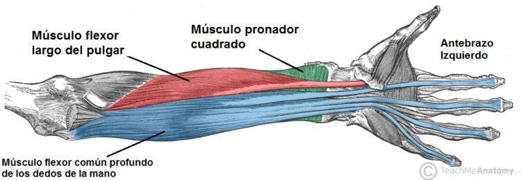 Musculos del antebrazo y mano