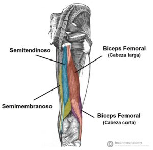 Anatomia del isquiotibial