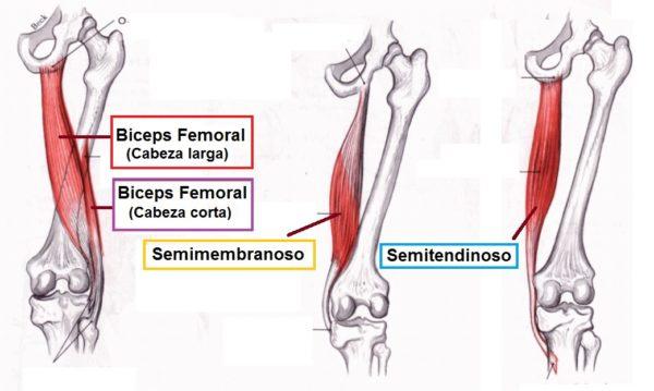 Isquiotibiales anatomia insersiones