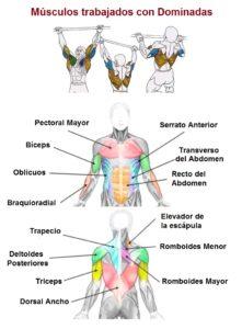 Musculos trabajados con dominadas