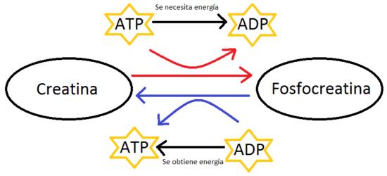 ciclo de la creatina atp