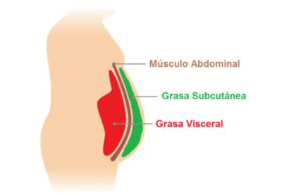 grasa visceral y subcutanea